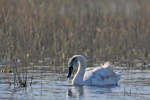 cisne mudo - cygnus olor, creta foto
