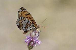 melitaea didyma, o fritilar malhado ou fritilar de faixa vermelha, é uma borboleta da família nymphalidae, grécia foto