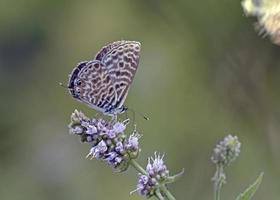 leptotes pirithous, o azul de cauda curta do lang ou o azul zebra comum, grécia foto