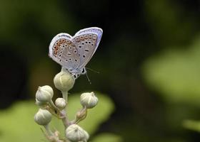 azul comum - polyommatus icarus, greece foto
