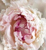 close-up de uma peônia foto