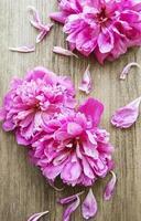 flores de peônia rosa em madeira foto