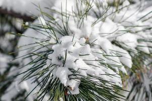 ramos verdes de abetos cobertos de neve, close-up fundo de inverno frio da natureza foto