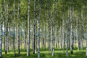 floresta de vidoeiro foto