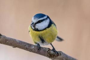 close-up de um pássaro chapim azul e amarelo em um galho foto