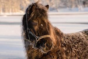 cavalo marrom escuro na neve foto