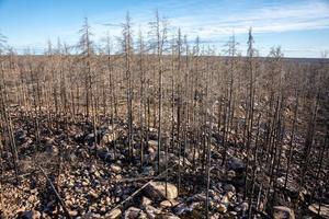 remanescentes de árvores mortas após um incêndio florestal foto