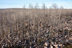floresta morta após um incêndio florestal foto