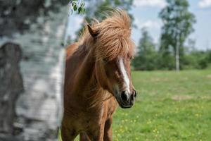 cavalo islandês espreitando por trás de uma árvore foto