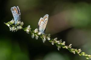 duas borboletas de asas azuis sentadas em uma flor branca