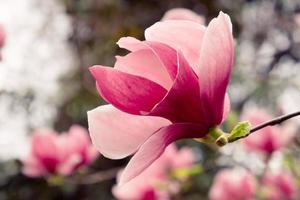 flor de magnólia rosa com fundo desfocado foto