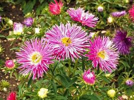 ásteres chineses bonitos com agulha rosa, callistephus chinensis foto
