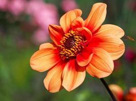 linda flor dália laranja com uma mosca-voadora se aproximando foto