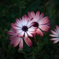 flores rosas românticas no jardim na primavera foto