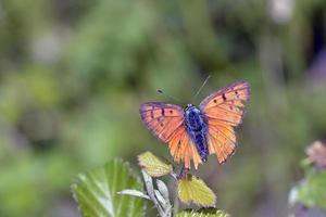 cobre roxo-shot - lycaena alciphron, greece foto