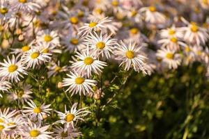 close-up de um grupo de flores de camomila foto