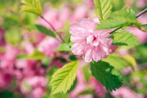 close-up de uma flor de sakura com fundo desfocado foto