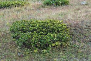 arbustos de rododendro em um campo em sochi, rússia foto