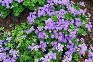 flores roxas em um canteiro de flores em um jardim foto