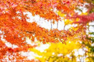 árvore de folha de bordo vermelha foto