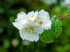 flor branca em um doce falso arbusto de laranja, Filadélfia foto