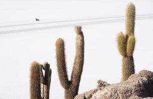 cacto em salar de uyuni na Bolívia foto