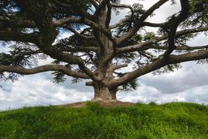 árvore de cedro do líbano foto