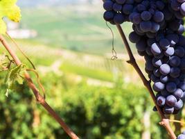 close-up de uvas em vinhedo foto