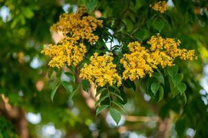close-up da flor padauk florescendo na árvore foto