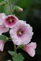 flores rosa malva-rosa foto