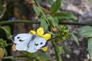 borboleta branca em flor amarela foto