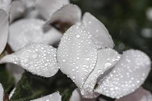 flores com gotas de chuva na pétala no tema de preto e branco foto