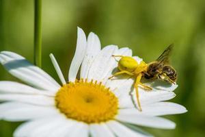 aranha caranguejo amarela com uma abelha em uma flor de margarida foto