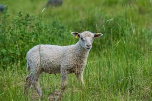 cordeiro branco parado em um pasto verde olhando para a câmera foto