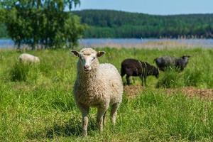 ovelha branca na frente de outras ovelhas foto