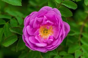 close-up de uma rosa de cachorro rosa fresca com pistilos amarelos foto