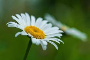 close up de um par de lindas flores de margarida foto