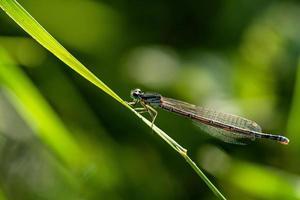close-up de uma donzela em uma folha de grama foto
