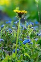 foto macro de um campo de miosótis e uma única flor de dente-de-leão