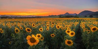 flores de girassol florescendo no campo ao pôr do sol foto