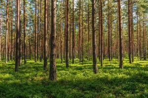 floresta de pinheiros durante o dia foto