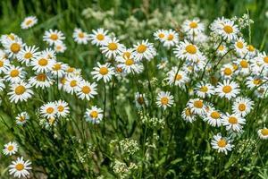 cacho de flores de margarida crescendo em um campo sob a luz do sol foto