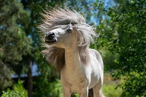 lindo cavalo sacudindo a juba foto