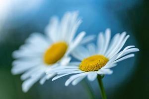 duas flores de margarida foto