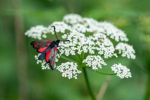 borboleta preta e branca foto