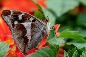 close-up vista lateral de uma borboleta imperador roxa menor foto