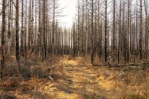 estrada de terra passando por uma floresta morta foto