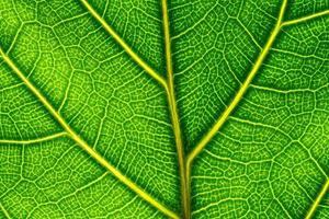 detalhe de uma folha verde foto