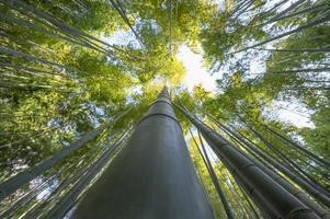 árvores de bambu de perto foto