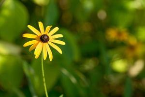 flor amarela com pétalas longas em fundo verde desfocado foto